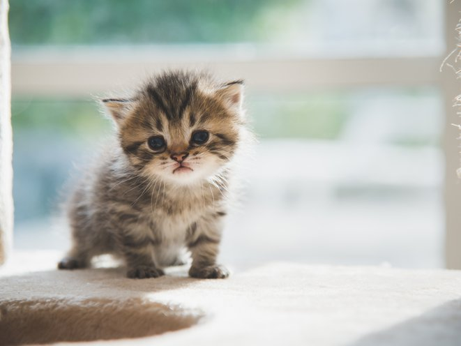 Bringing Home Your New Kitten